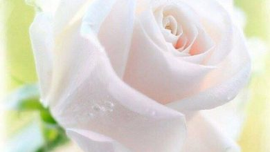 Flower good day morning image Greetings Images 390x220 - Flower good day morning image Greetings Images