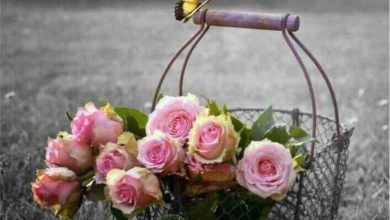 Rose great morning images Greetings Images 390x220 - Rose great morning images Greetings Images